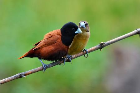 headed: Beautiful bird, Couple of  Black headed Munia bird (Lonchura malacca) perching on a branch, Thailand Stock Photo