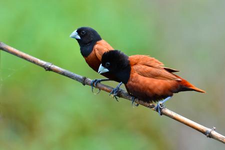 black headed: Beautiful bird, Couple of  Black headed Munia bird (Lonchura malacca) perching on a branch, Thailand Stock Photo