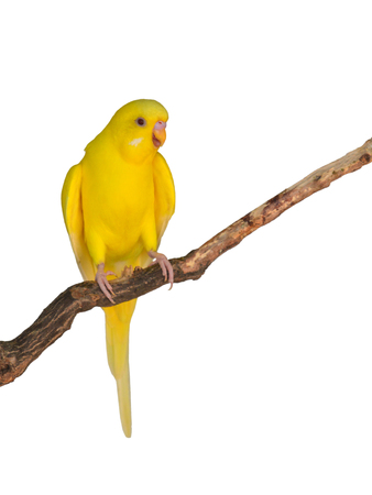 Beautiful yellow bird, Budgerigar perching on a branch on white background.