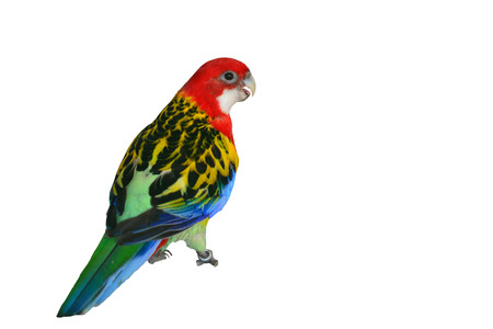 Beautiful colorful bird, Eastern Rosella Parrot (Platycercus eximius) on white background. Stock Photo