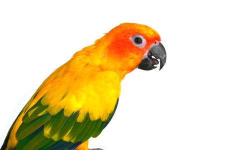 periquito: Beautiful  bird, Sun Conure bird isolated on white background, closeup.