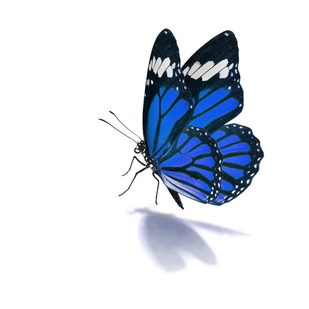 Beautiful blue monarch butterfly isolated on white background Stock Photo