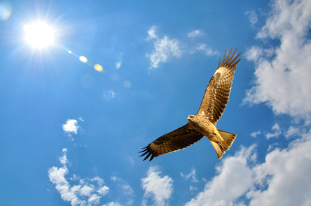 Black Kite (Milvus migrans) showing wing spread on sky and sun background Stock Photo
