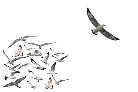 a group of flying seagull birds with one individual bird going in the opposite direction on white background.