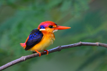 alcedinidae: A beautiful Oriental Dwarf Kingfisher (Ceyx erithaca) bird standing on a branch
