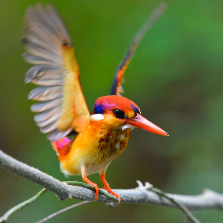 alcedinidae: A beautiful Oriental Dwarf Kingfisher (Ceyx erithaca) bird standing on a branch and show wing.
