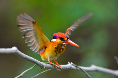 A beautiful Oriental Dwarf Kingfisher (Ceyx erithaca) bird standing on a branch and show wing.