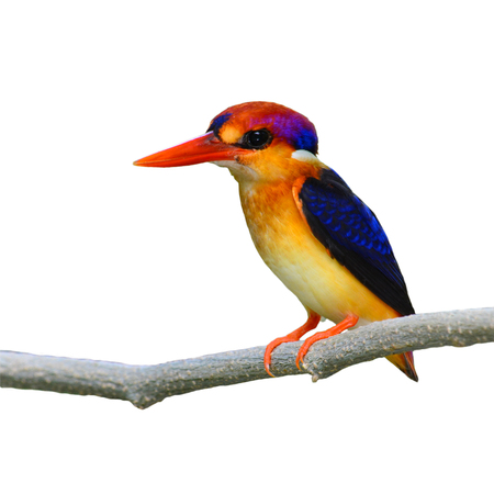 A beautiful Oriental Dwarf Kingfisher (Ceyx erithaca) bird standing on a branch on white background.