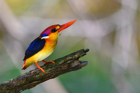 alcedo atthis: A beautiful Oriental Dwarf Kingfisher (Ceyx erithaca) bird standing on log taken in Thailand.