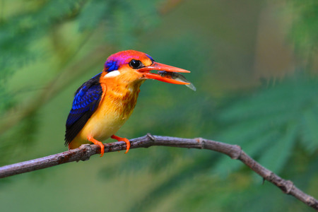 A beautiful Oriental Dwarf Kingfisher (Ceyx erithaca) bird standing on a branch taken in Thailand.