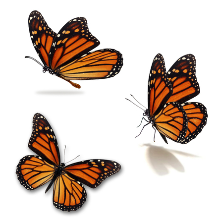 Beautiful three monarch butterfly, isolated on white background