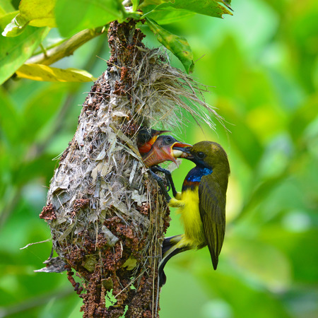 Beautiful bird, male of Olive-backed sunbird (Cinnyris jugularis) performs its parenthood duty while feeding his chicks on the nest, take of Thailand