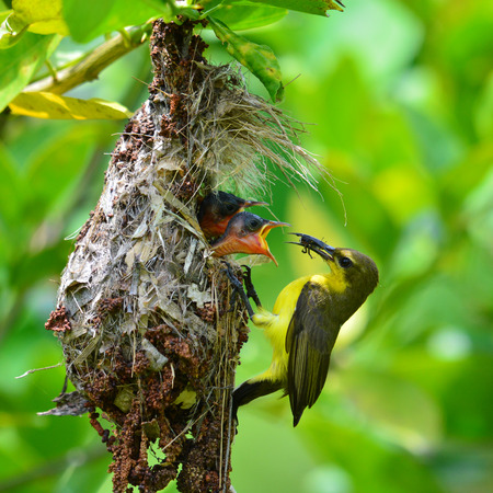 Beautiful bird, female of Olive-backed sunbird (Cinnyris jugularis) performs its parenthood duty while feeding his chicks on the nest, take of Thailand