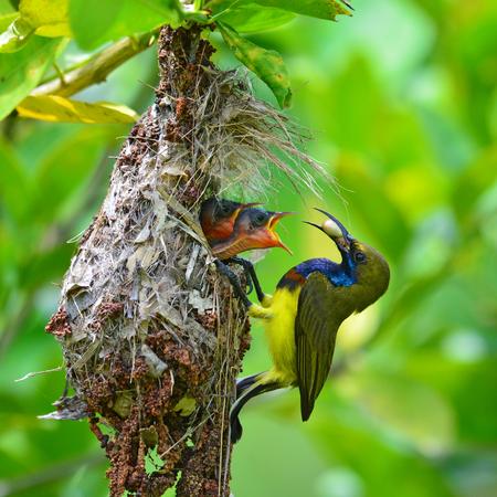 Beautiful bird, Olive-backed sunbird (Cinnyris jugularis) performs its parenthood duty while feeding his chicks on the nest, take of Thailand