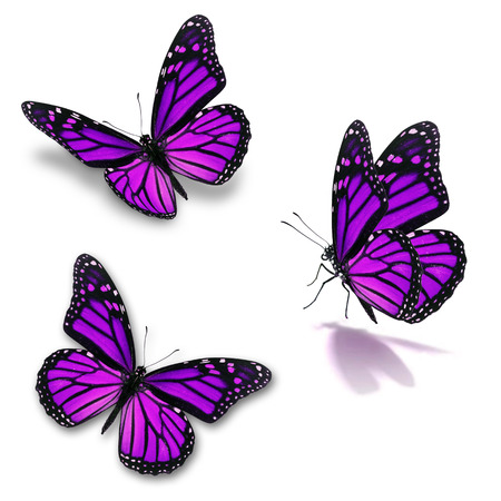 Beautiful three purple monarch butterfly, isolated on white background