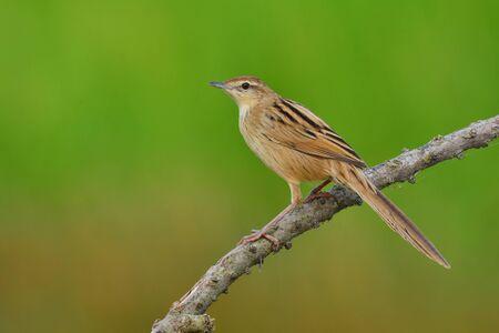 striated: Beautiful brown bird, Striated Grassbird (Megalurus palustris), bird of Thailand.