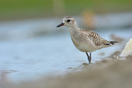 Beautiful mangrove bird, Grey Plover (Pluvialis squatarola) on nature in Thailand