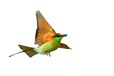 Beautiful bird, Green Bee-eater (Merops orientalis) flying on white background, Thailand