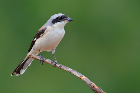 vittatus: Beautiful bird, Bay-backed Shrike ( Lanius vittatus) perching on a branch, Thailand Stock Photo