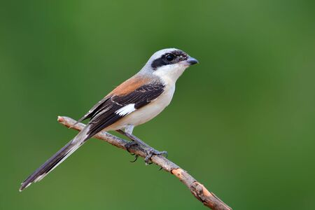 vittatus: Beautiful bird, Bay-backed Shrike ( Lanius vittatus) perching on a branch on white background, Thailand Stock Photo