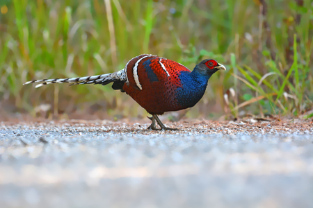 Beautiful Pheasant bird, male of Mrs. Humes Pheasant (Syrmaticus humiae) in nature Thailand