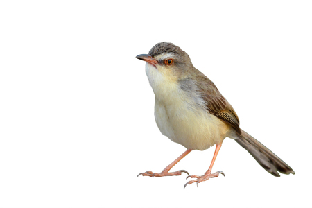 Beautiful brown bird, Brown Prinia (Prinia polychroa) standing on the log isolated on white background. Stock Photo