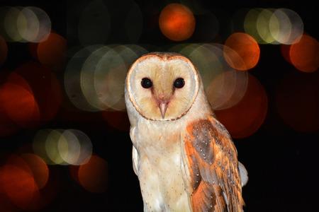 Portrait of a barn owl bird (Tyto alba) perched over bokeh background.  Stock Photo