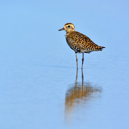 Beautiful bird, A Pacific Golden Plover taking a breather on the lake Stock Photo