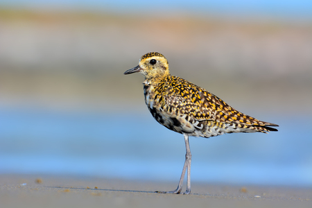 Beautiful bird, A Pacific Golden Plover (Pluvialis fulva) taking a breather on the beach