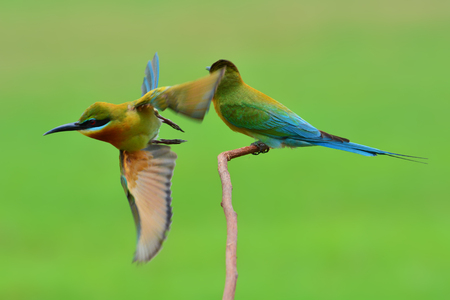 Beautiful bird, Couple of Blue-Tailed Bee Eater (Merops philippensis) perching on the branch. Stock Photo