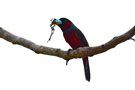 Beautiful Broadbill bird, Black and red Broadbill (Cymbirhynchus macrorhynchos) in Kaeng Krachan National Park, Thailand. Stock Photo
