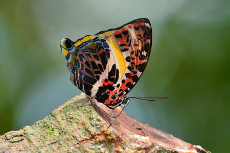 Beautiful butterfly Glorious Begum (Agatasa calydonia) on finger in Kaeng Krachan National Park, Thailand. Stock Photo