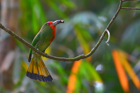 Beautiful green bird, Red-bearded Bee-eater Bird (Nyctyornis amictus) standing on the branch in Kaeng Krachan National Park, Thailand. Stock Photo