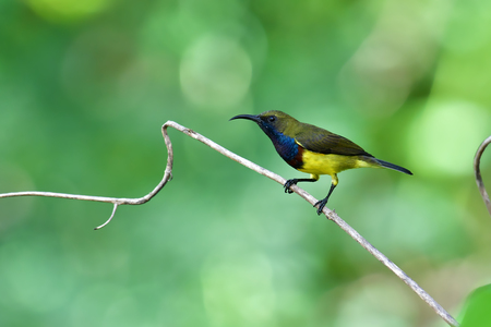 Beautiful bird, male of Olive-backed Sunbird (Cinnyris jugularis) perching on a branch.