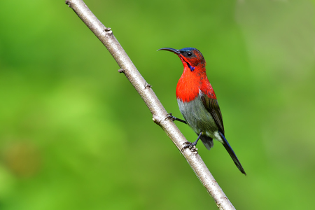 Beautiful bird, male of Crimson Sunbird (Aethopyga siparaja) perching on a branch.