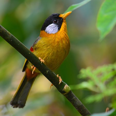 leiothrix argentauris: Beautiful golden bird, Silver-eared Mesia (Leiothrix argentauris) in Phu Luang Wildlife Sanctuary, Thailand.