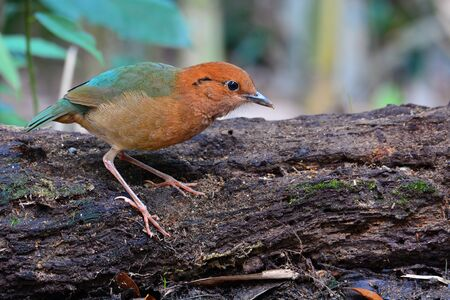 Male of Rusty-naped Pitta Bird (Hydrornis oatesi) standing on the log in Kaeng Krachan National Park, Thailand. Banque d'images