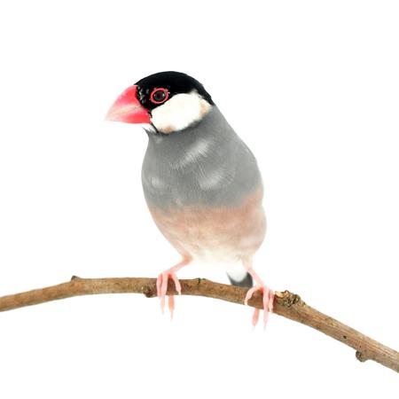 Beautiful bird, Black Baza (Lonchura oryzivora) perching on a branch isolated on white background.