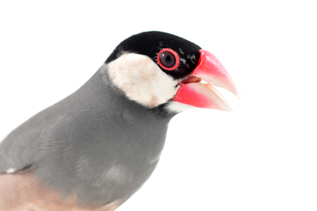 Beautiful bird, Java sparrow, Java finch (Lonchura oryzivora) isolated on white background.