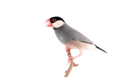 Beautiful bird, Java sparrow, Java finch (Lonchura oryzivora) perching on a branch isolated on white background.