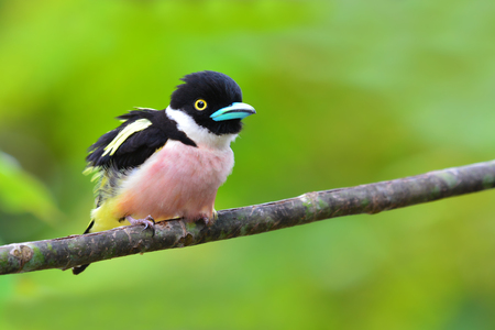bird song: Beautiful Broadbill bird, female of Black-and-Yellow Broadbill (Eurylaimus ochromalus) in Kaeng Krachan National Park, Thailand.