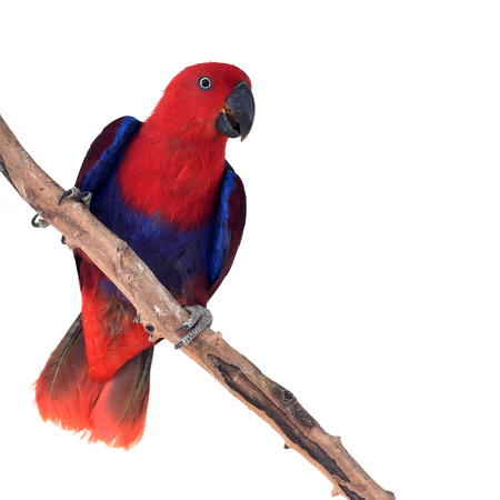 Beautiful red parrot, Eclectus Parrot ( Eclectus roratus solomonensis), perching on a branch on white background, breast profile. Banco de Imagens