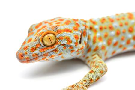 tokay gecko: House gecko closeup isolated on white background