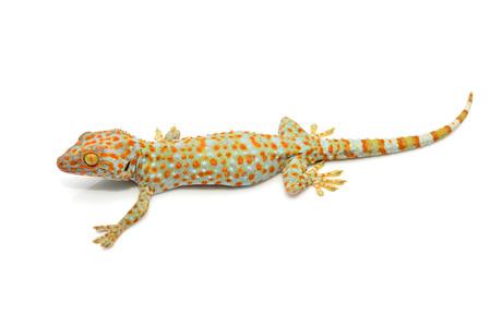 tokay gecko: House gecko isolated on white background