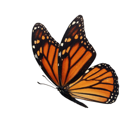 Beautiful colorful monarch butterfly isolated on white background. Stock Photo