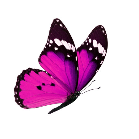 Beautiful pink monarch butterfly isolated on white background. Stock Photo