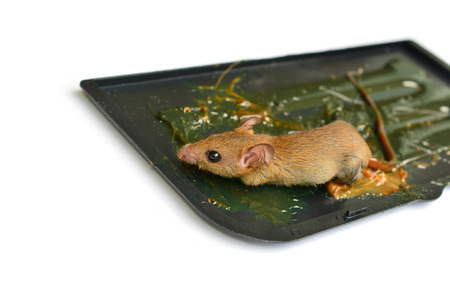 Mouse with glue isolated on white background