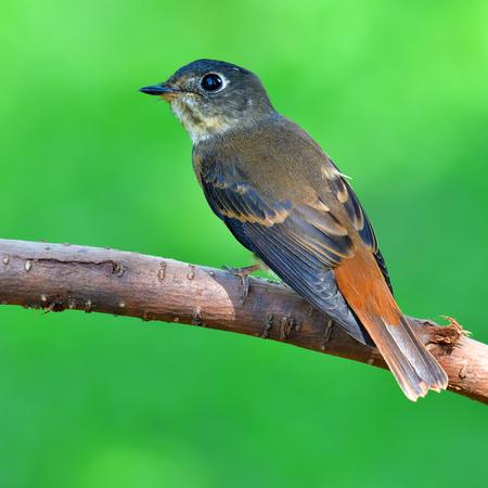 Beautiful brown bird, Ferruginous Flycatcher (Muscicapa ferruginea) standing on the branch in nature Thailand
