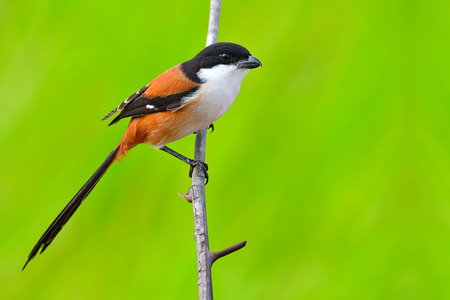 Beautiful black and orange bird, Long-tailed Shrike (Lanius schach) perching on a branch, bird of Thailand.