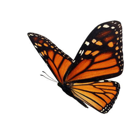 Beautiful monarch butterfly isolated on white background. 스톡 콘텐츠